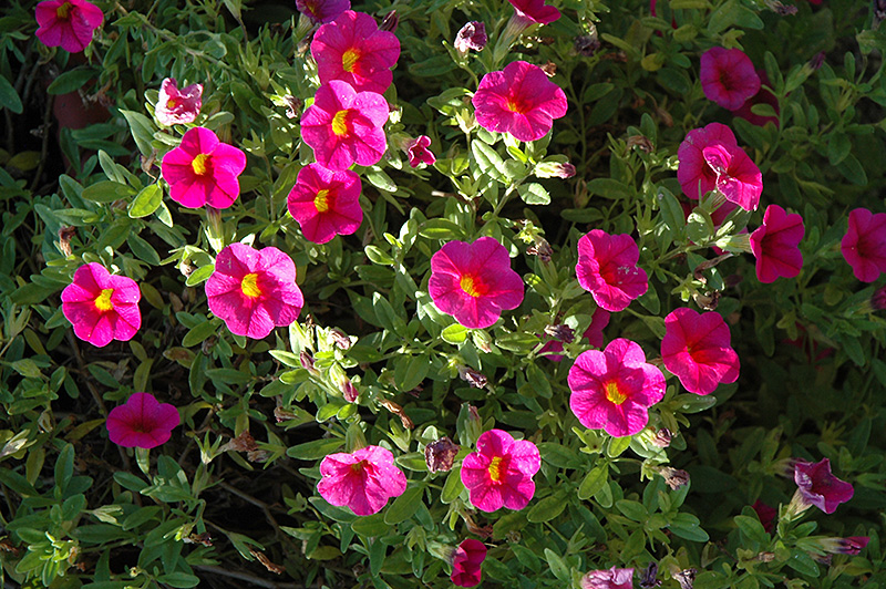 Superbells cherry red calibrachoa calibrachoa - Calibrachoa superbells ...
