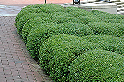 Chicagoland Green Boxwood (Buxus 'Glencoe') at Caan Floral & Greenhouse
