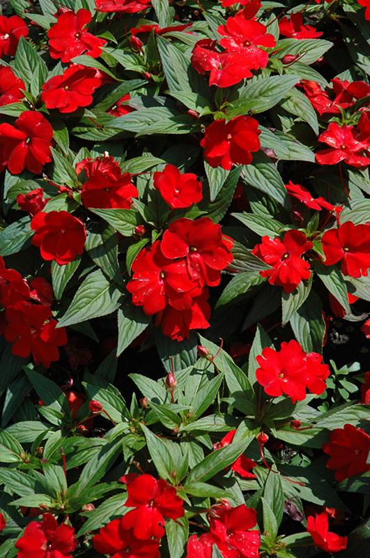 Divine Scarlet Red New Guinea Impatiens Impatiens